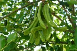 Зрелые плоды рожкового дерева