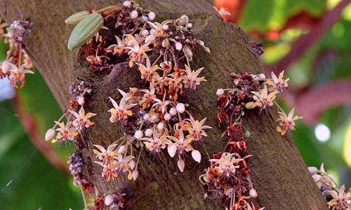 Цветущее шоколадное дерево