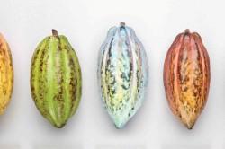 Виды какао-бобов