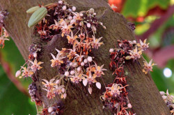 Cvetushhee schokoladnoe derevo 250x166 - Как выглядит шоколадное дерево?