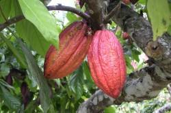Плоды на шоколадном дереве