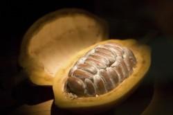 Разрезанный плод шоколадного дерева