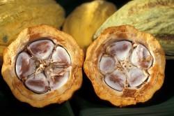 Razrezannyj plod schokoladnogo dereva1 250x166 - Как выглядит шоколадное дерево?