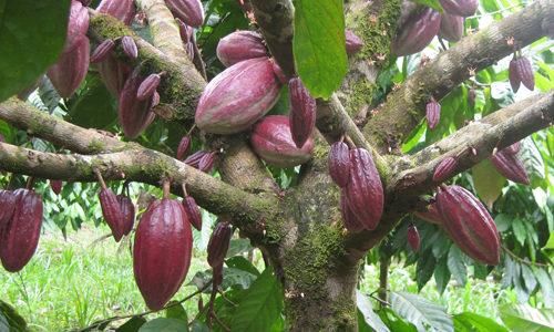 Schokoladnoe derevo s plodami 500x300 - Как выглядит шоколадное дерево?