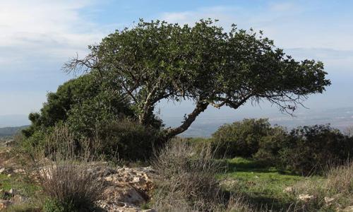 Одиночное рожковое дерево