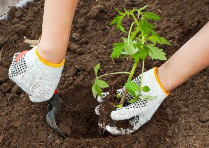 посев рассады овощей